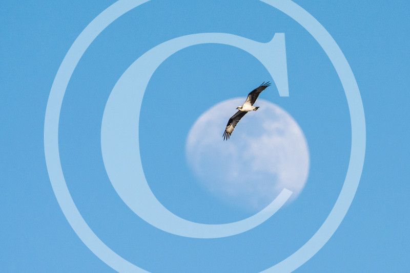 An Osprey soars over Messalonskee Lake in search of a fish.  (No - this is NOT a montage!)