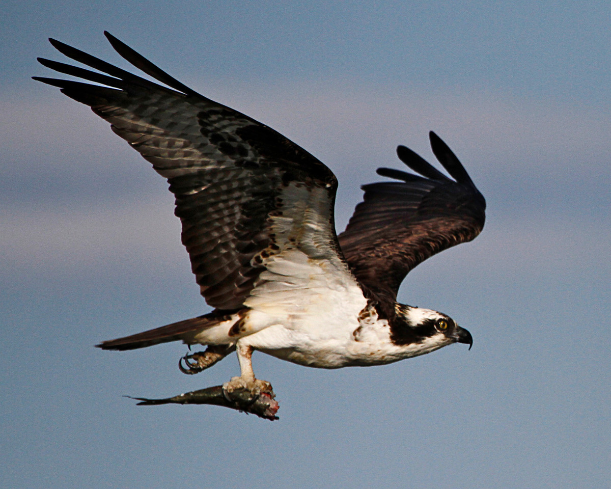 Male Osprey with Fish