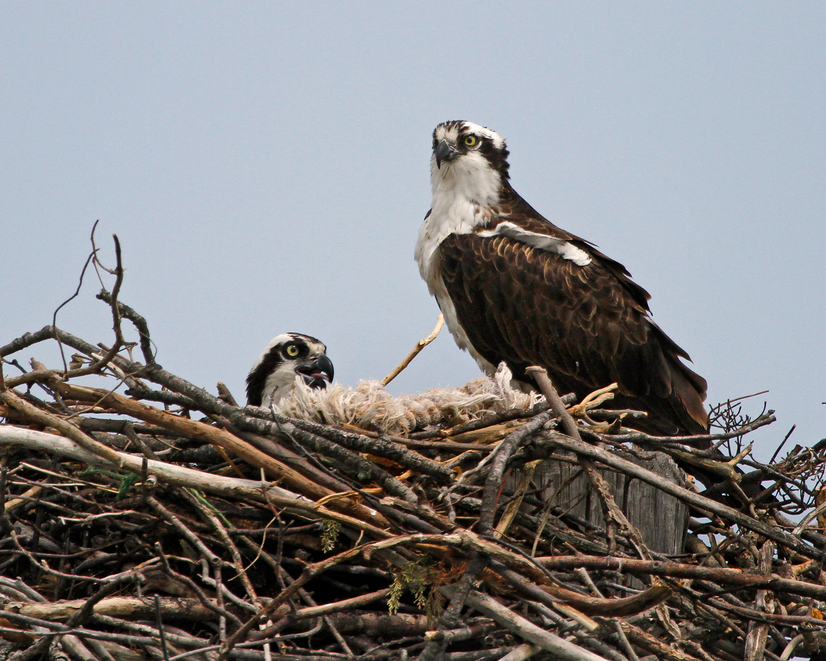 Male and Female Osprey in Nest