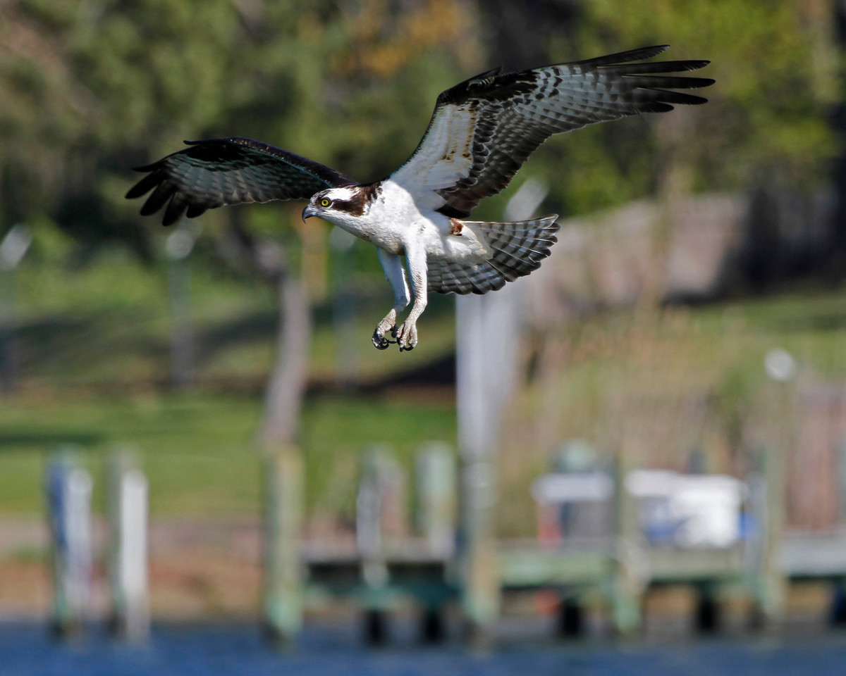 Male Osprey in Landing Pattern