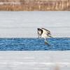 Osprey with Catch (a bass)