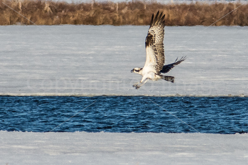 Osprey diving into the frigid waters of Messalonskee Lake