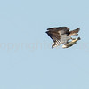 Osprey with Catch (a bass)