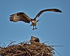 Osprey foreplay