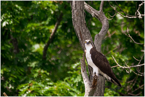 Loughborough Lake Osprey