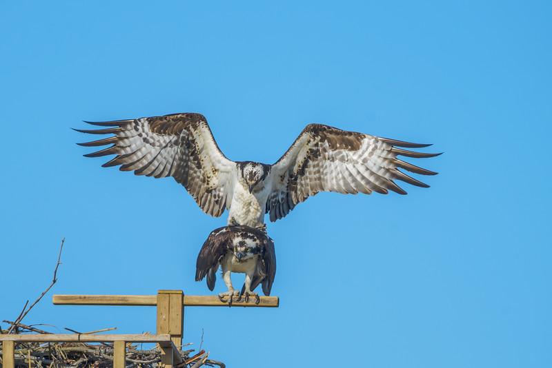 Osprey 4-18-15-046