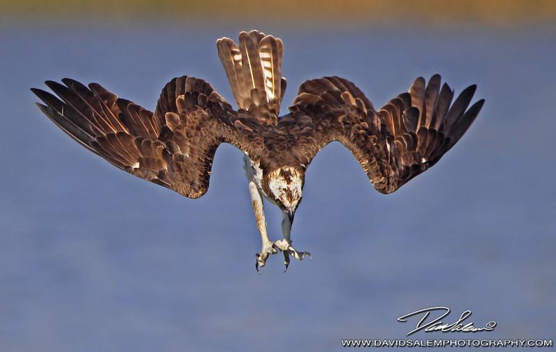 Osprey diving