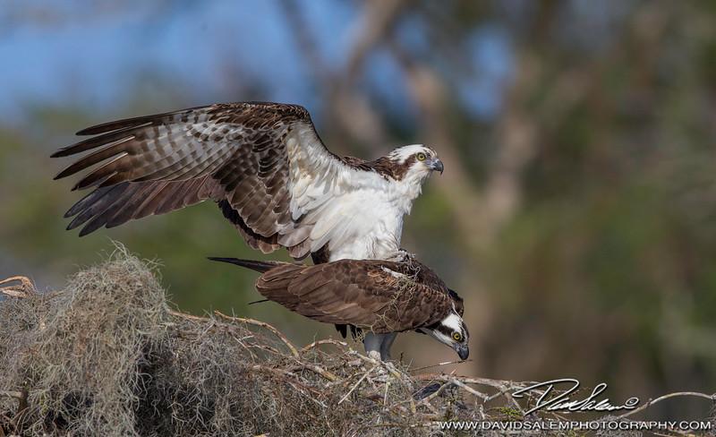 Ospreys copulating