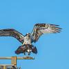 Osprey 4-18-15-058