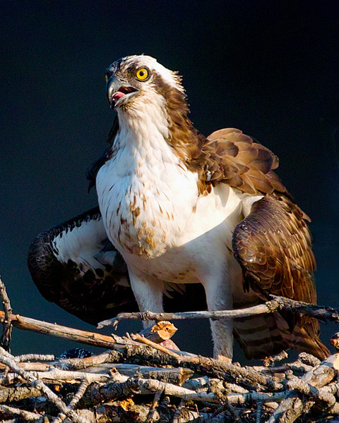 From the University of Montana Official Osprey Nest.