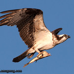 Osprey - near Idaho Falls, Id. Taken in 2011.