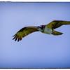 Osprey Guarding the Nest
