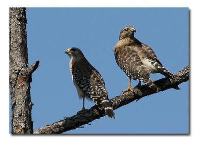 Ospreys and Hawks