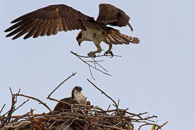 Male delivers more nest material.