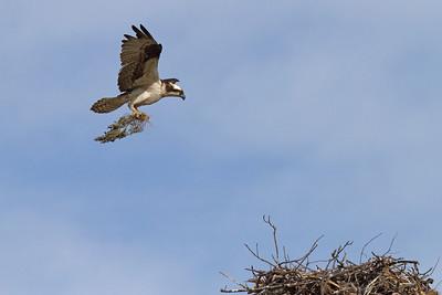 "Female bringing ""fluff"" to the nest."