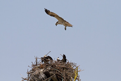 Adults guard the nest as intruder approaches.