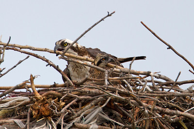 Oops, looks like one of the chicks is caught in the nest rails.  Mom to the rescue!