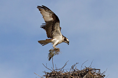 "Female bringing ""fluff"" to the nest."