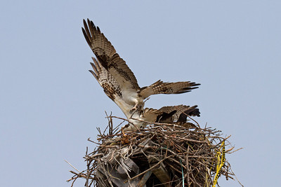 Intruder lands in nest.