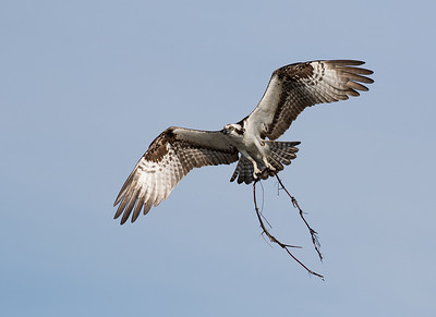 Osprey with nest material.