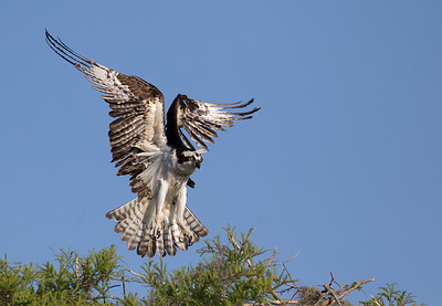 Osprey landing at nest.