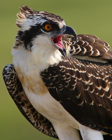 This photograph of an Osprey or Fish Hawk was captured at  Edwin B. Forsythe National Wildllife Refuge in New Jersey (8/06)