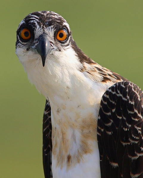 This photograph of an Osprey or Fish Hawk was captured at  Edwin B. Forsythe National Wildlife Refuge in New Jersey.  Posted this photo because I like the unusual look and head position  (8/06).