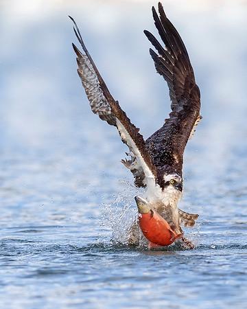 Osprey catching Kokanee salmon