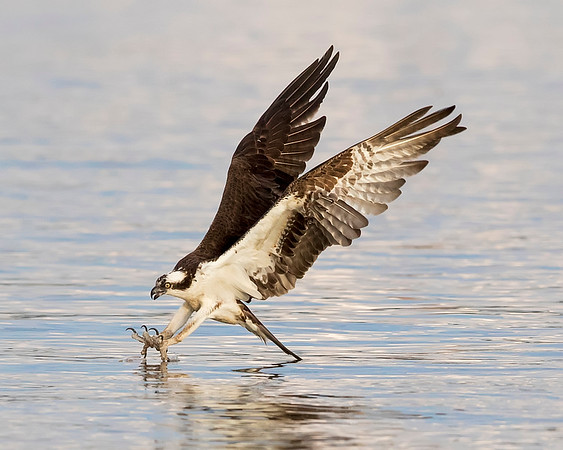 James River Osprey, Virginia