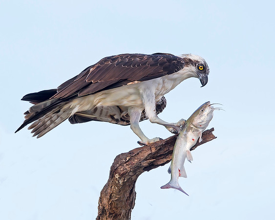 This photograph of an Osprey with a recently caught catfish was captured in Bunche Beach Preserve, Florida (8/14). This photograph is protected by the U.S. Copyright Laws and shall not to be downloaded or reproduced by any means without the formal written permission of Ken Conger Photography.