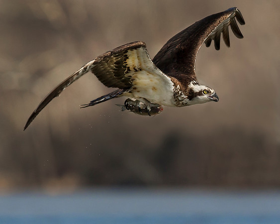 This photograph of an Osprey was captured within the James River in Virginia (3/13).   This photograph is protected by the U.S. Copyright Laws and shall not to be downloaded or reproduced by any means without the formal written permission of Ken Conger Photography.
