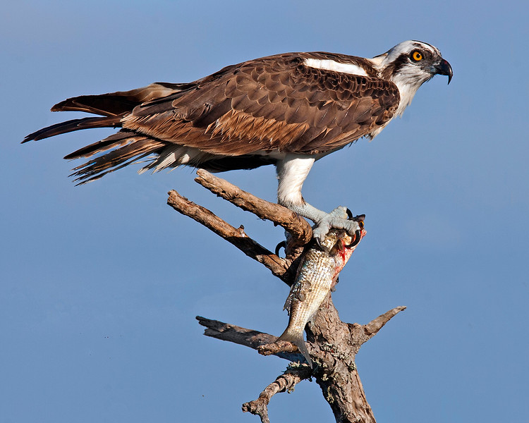 This photograph of a Osprey with a freshly caught mullet was captured in the Merritt Island National Wildlife Refuge, Florida (9/10).     This photograph is protected by the U.S. Copyright Laws and shall not to be downloaded or reproduced by any means without the formal written permission of Ken Conger Photography.