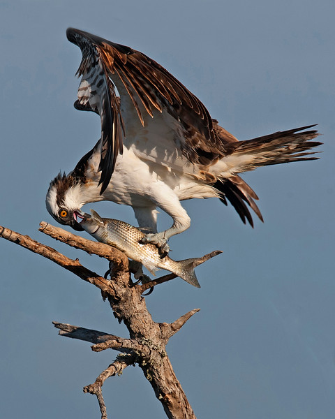 This photograph of a Osprey with a freshly caught mullet was captured in the Merritt Island National Wildlife Refuge, Florida (11/10).     This photograph is protected by the U.S. Copyright Laws and shall not to be downloaded or reproduced by any means without the formal written permission of Ken Conger Photography.
