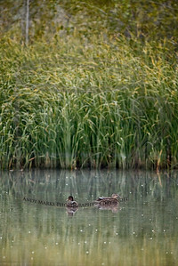 3 ducks on the pond, 3 Cooper's Hawks in the cottonwood trees around the pond. 6Sept10, DDell Pk
