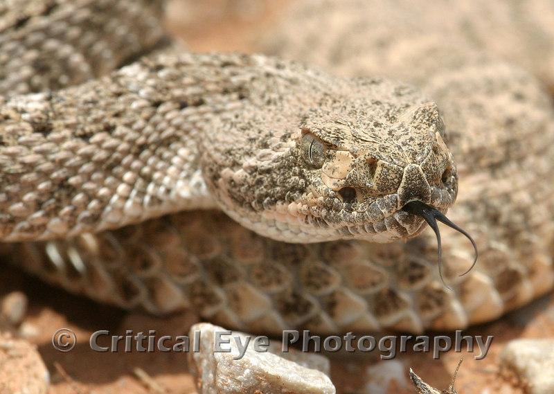 Western Diamondback Rattlesnake - the business end!