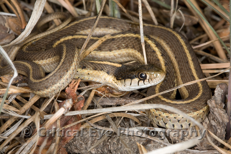 "A Mexican Gartersnake, Thamnophis eques, approximately 15"" long, near the Elk Well lake on Mingus Mountain, 9/8/07."