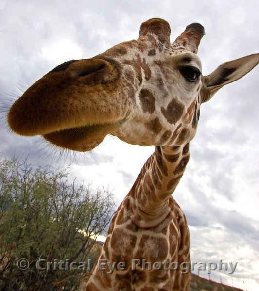 Giraffe at Out of Africa, Camp Verde, AZ