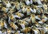 Honeybees in swarm