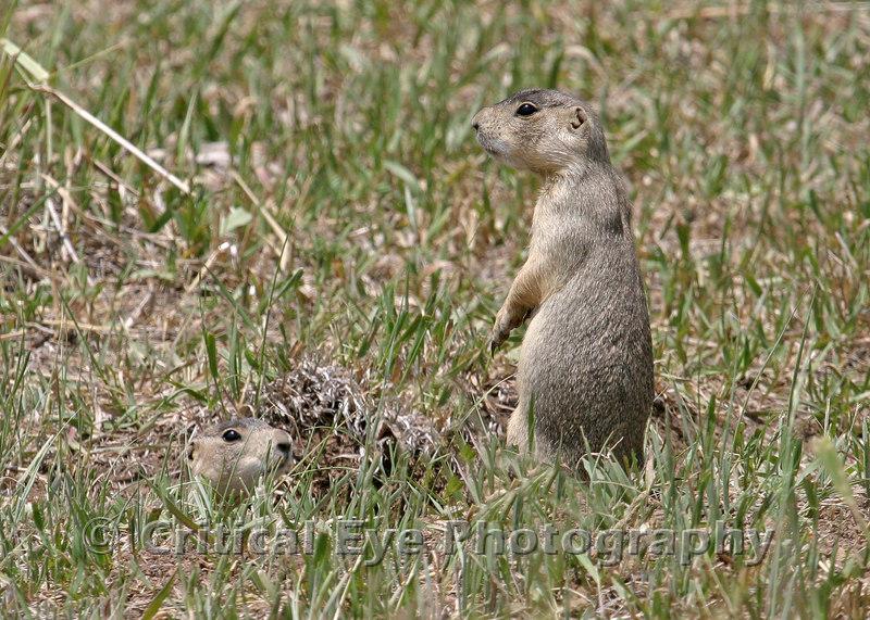 Gunnison's Prairie Dogs