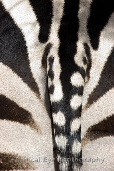 Zebra at Out of Africa, Camp Verde, AZ
