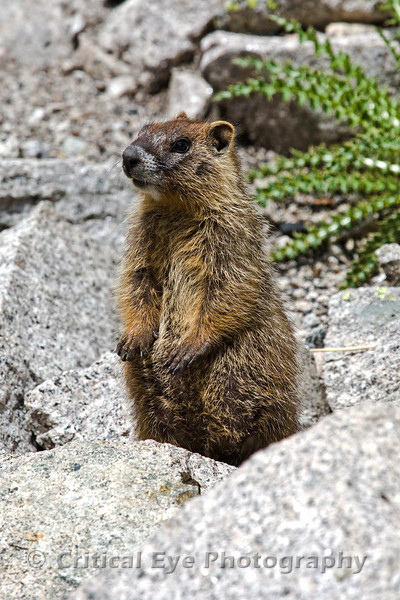 A Yellow-bellied Marmot, Marmota falvicentris, above Pitkin, Colorado, in Gunnison County.
