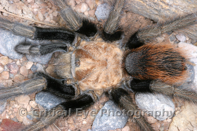 An Arizona Tarantula, Aphonoposidae machalcodes
