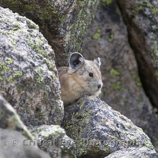A North American Pika, Ochotona princeps, sits near Alpine Tunnel, Gunnison County, CO.