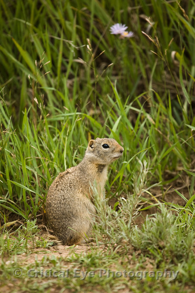 A Wyoming Ground Squirrel, Spermophilus elegans, just outside Pitkin, Gunnison County, CO.