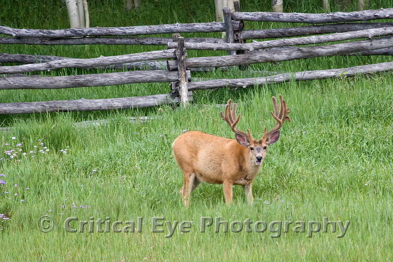 Mule Deer Buck, near Telluride, Colorado.