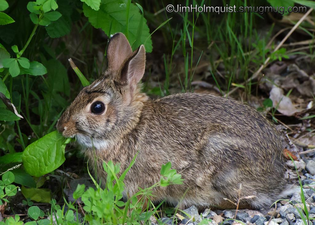 Rabbit - Nisqually Wildlife Refuge near Olympia, Wa