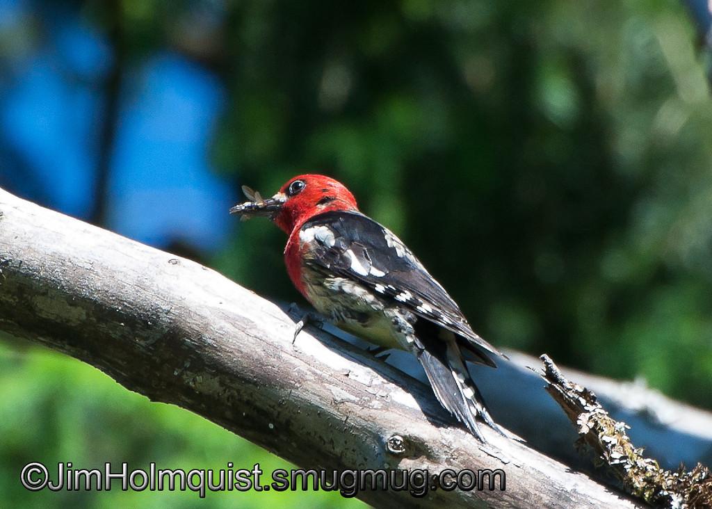 Red-breasted Sapsucker - near Olympia, Wa