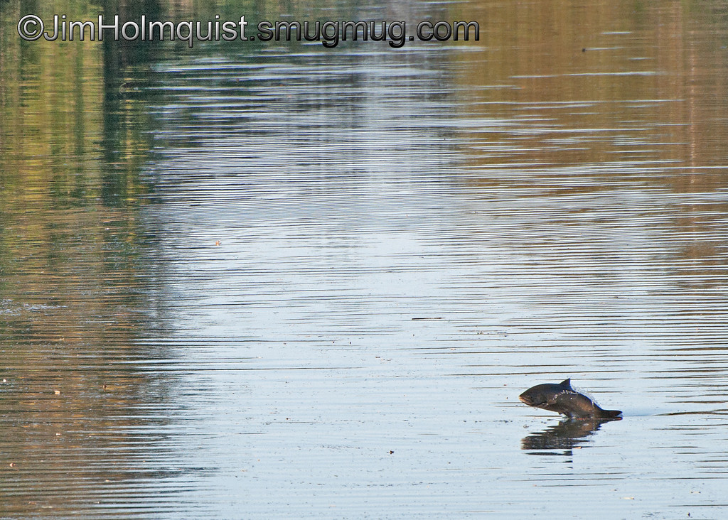 Fish jumping - Nisqually Wildlife Refuge near Olympia, Wa