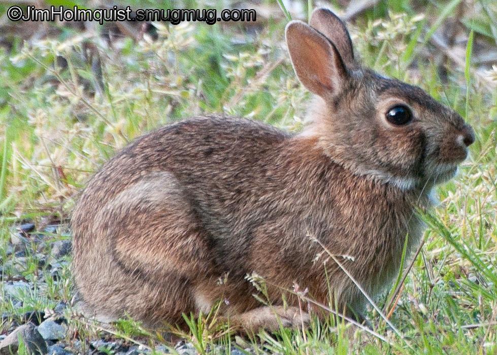 Bunny - Nisqually Wildlife Refuge near Olympia, Wa
