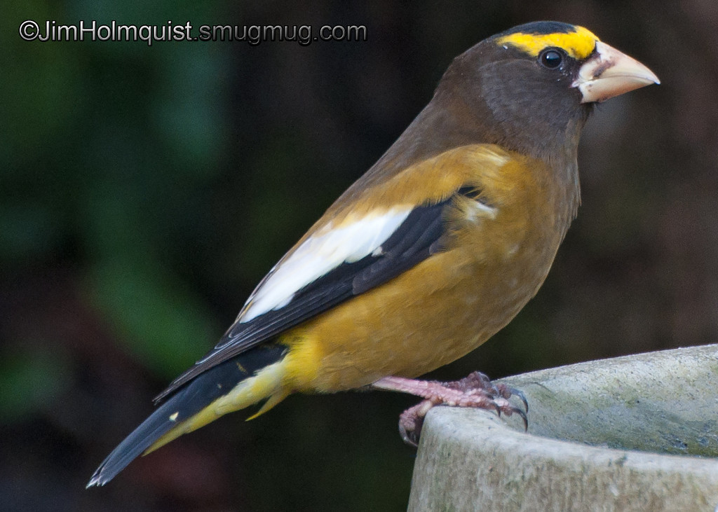 Evening Grosbeak - near Olympia, Wa